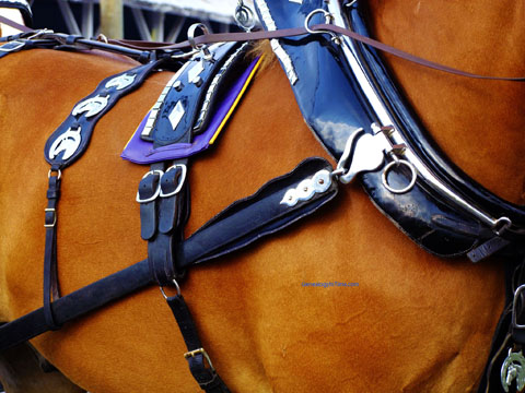 harness detail on a show horse