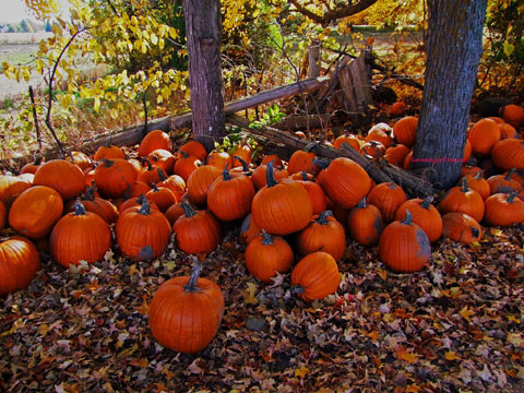 pumpkins under trees